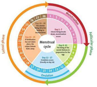 Calendrier cycle menstruel